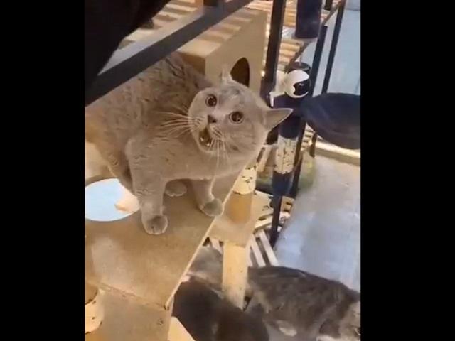 Недовольное мяуканье кота покорило Сеть и стало мировым хитом