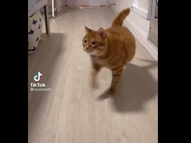 Пушистый Макгрегор: пухлый рыжий кот покорил Сеть своей походкой