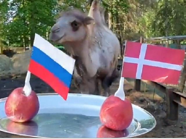 Верблюд Саламыч предсказал итог матча Евро-2020 Россия – Дания