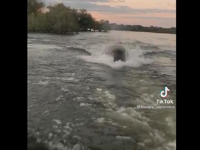 Погоня гигантского бегемота за катером: устрашающее видео напугало пользователей Интернета