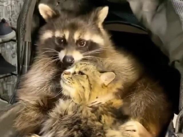 Дружба енота и кошки покорила пользователей Сети