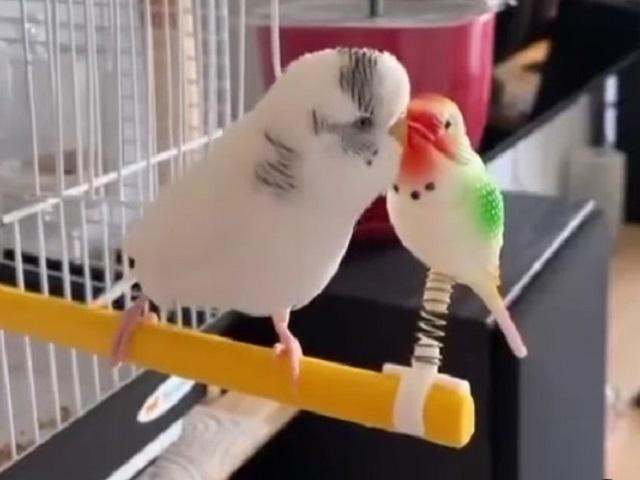 Флиртующий с игрушкой попугай рассмешил пользователей Сети