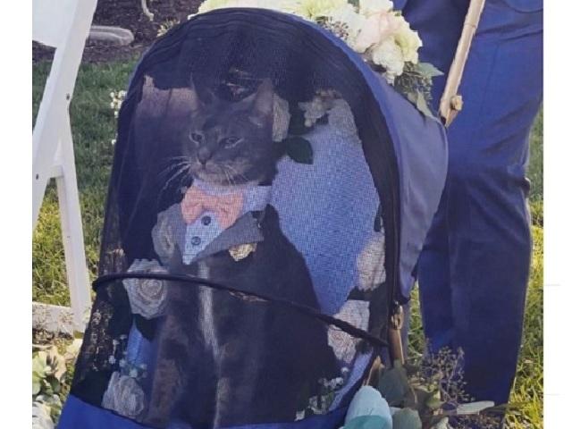 Фото свадебного кота в коляске стало вирусным в интернете