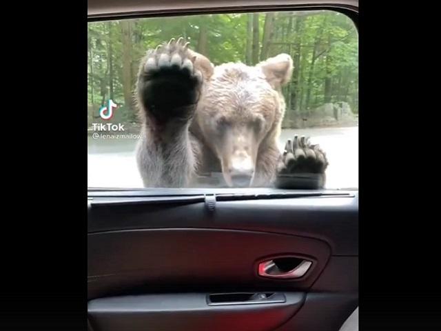 Медведь, умеющий открывать дверь автомобиля, удивил пользователей Интернета