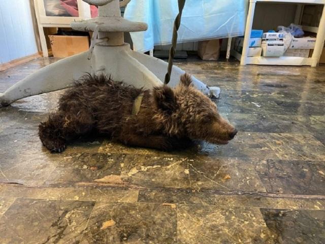 В Челябинской области на границе с Башкирией нашли раненного медвежонка