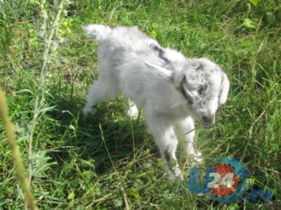Сегодня в Усть-Катаве спасали козленка, родившегося на автопарковке