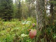 Жительница Карабаша потерялась во время похода в лес за ягодами.