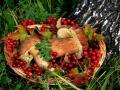 Минсельхоз хочет обложить налогом сборщиков лесных грибов и ягод