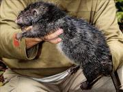 Нападение крысы на ребенка