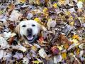 Видео дня: лабрадор Стелла покорила пользователей Сети своей любовью к осени